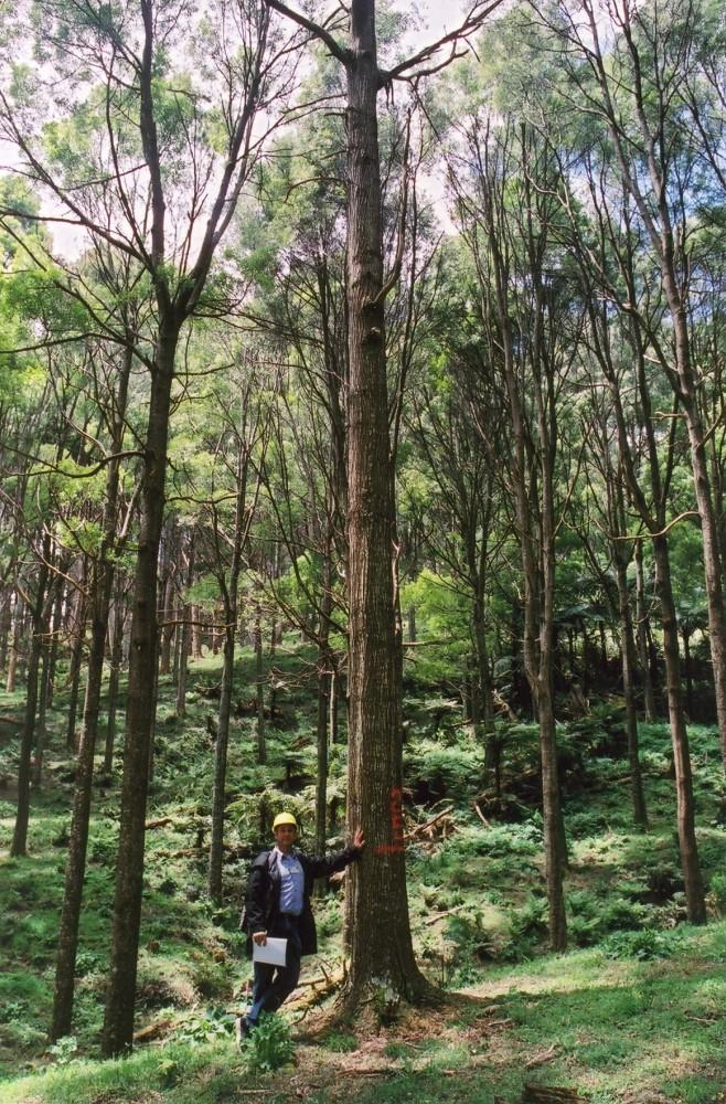 Các loại gỗ thích hợp để làm đũa phép (A) (5/6)